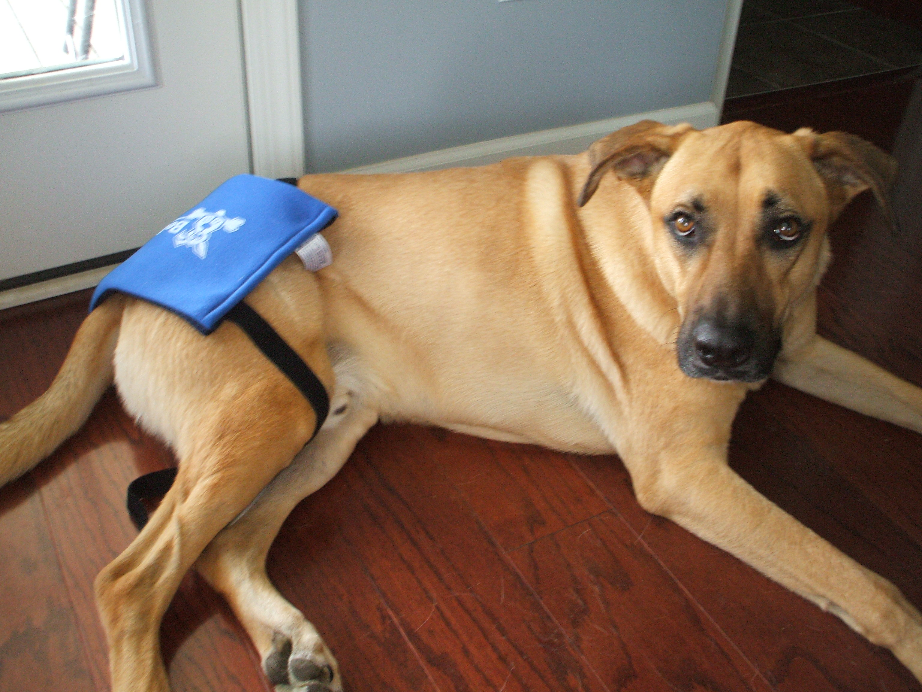 What Can I Give My Dog For Hip Dysplasia Pain