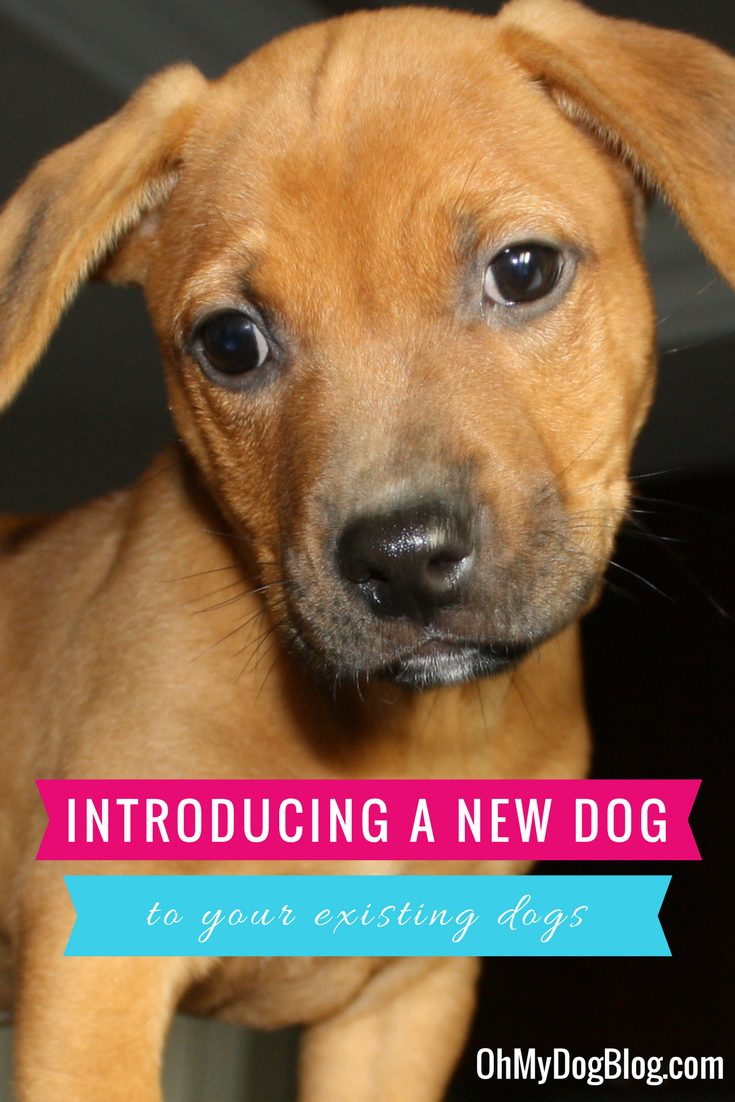 How to introduce a new adopted dog to your existing dogs