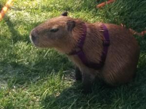 This capybara represented the ROUS Foundation