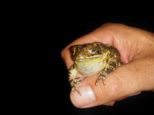 Emmett's Coastal Plain Toad
