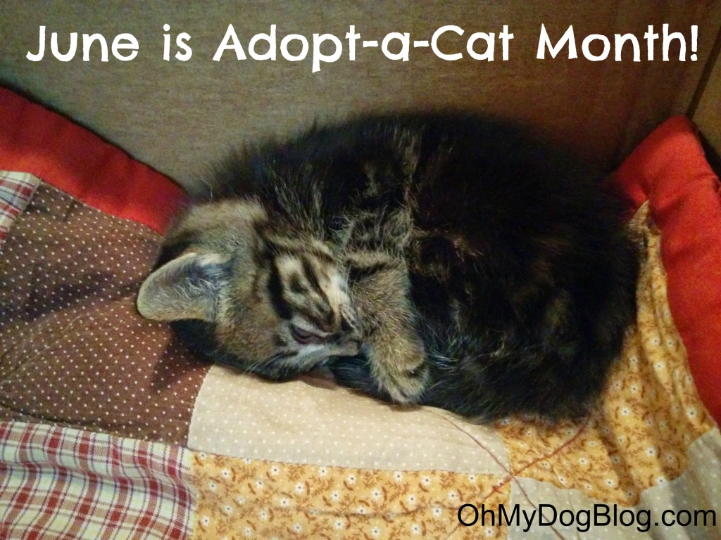 June is Adopt-a-Cat Month! #AdoptACatMonth