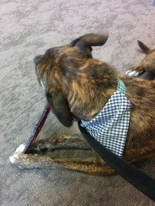 Emmett chews a bully stick at Pet360