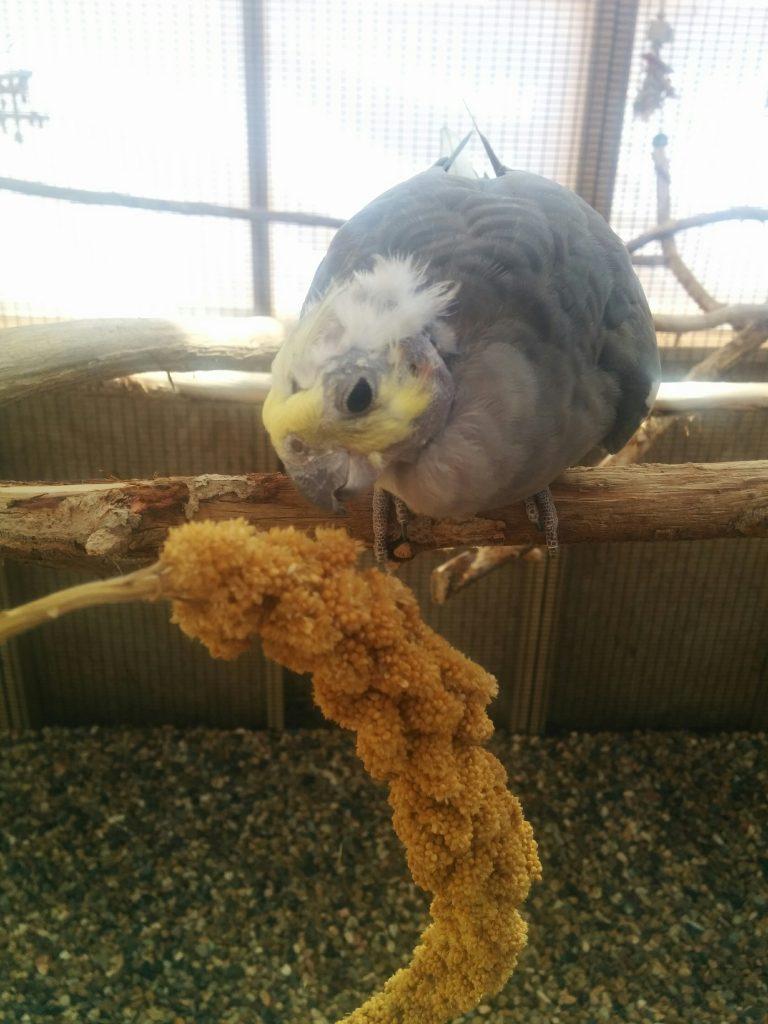 Clicker training a cockatiel