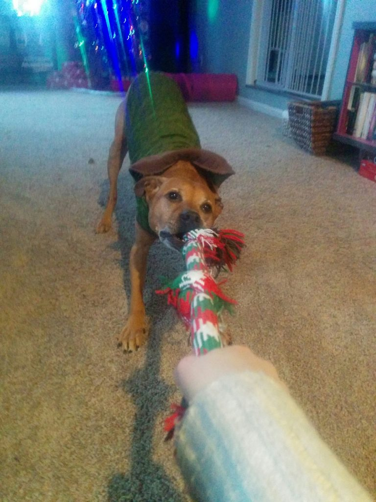 Anti-Let-Go: Cooper plays tug with his Christmas rope