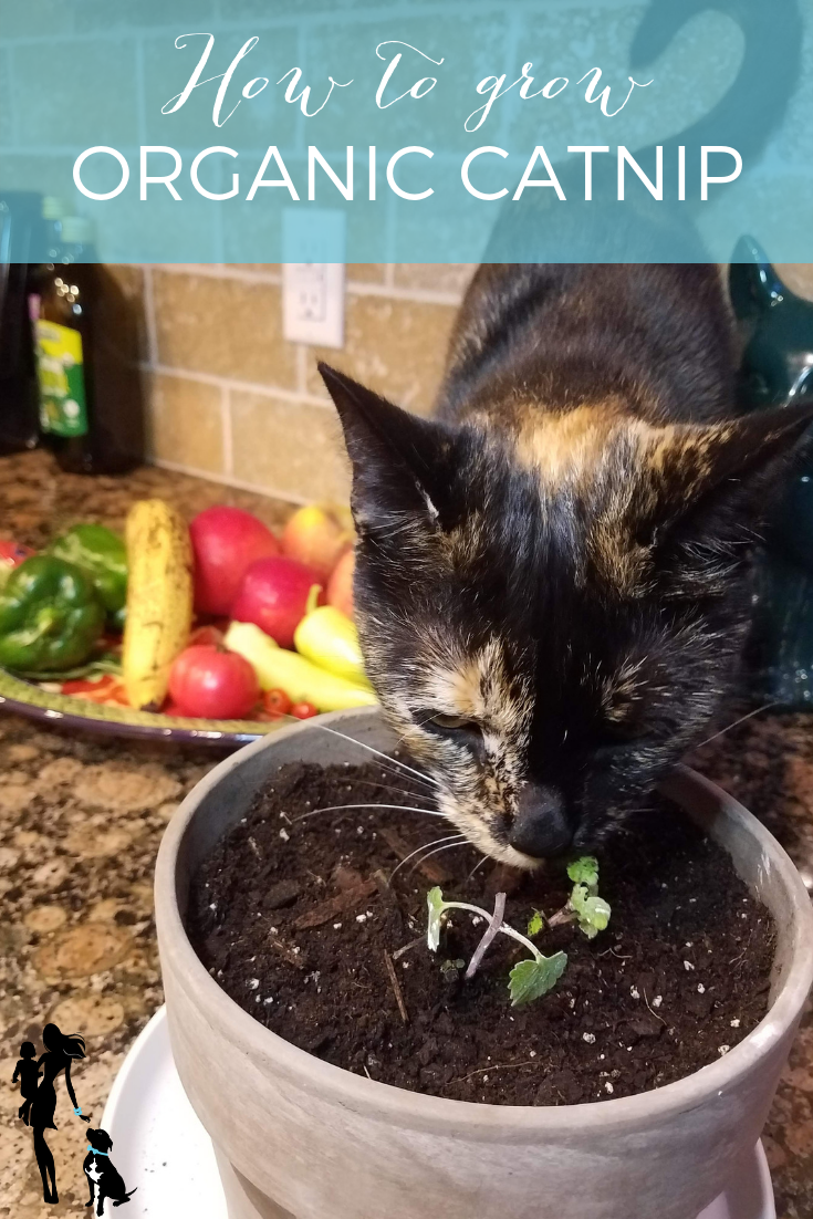 How to Grow Your Own Catnip
