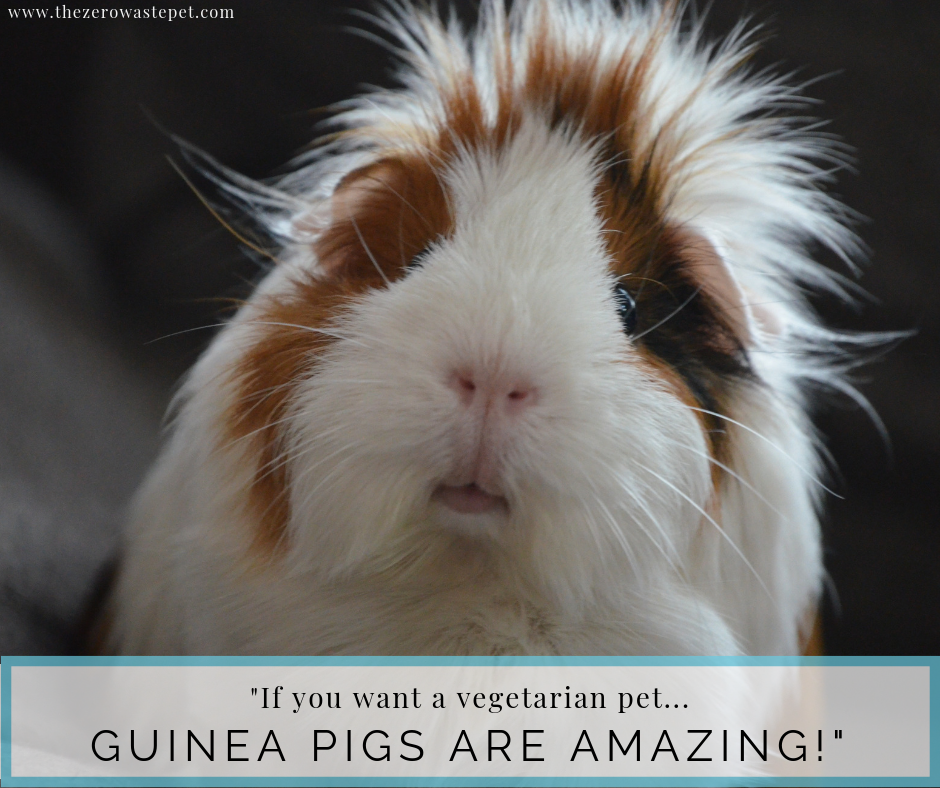 The Complete Guide to Zero-Waste Pet Food_ Guinea Pigs make wonderful vegetarian pets!